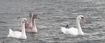 Svaner Esrum sø Danmark